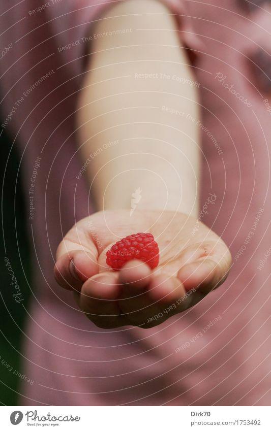 Eigene Ernte Frucht Himbeeren Ernährung Bioprodukte Fingerfood Snack Garten Kind Junge Hand 1 Mensch 3-8 Jahre Kindheit Natur Sommer Beeren frisch Gesundheit
