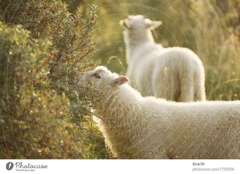 Sommerschafe Essen Landwirtschaft Forstwirtschaft Viehhaltung Sonnenlicht Schönes Wetter Gras Sträucher Sanddorn Wiese Weide Dänemark Jütland Tier Nutztier