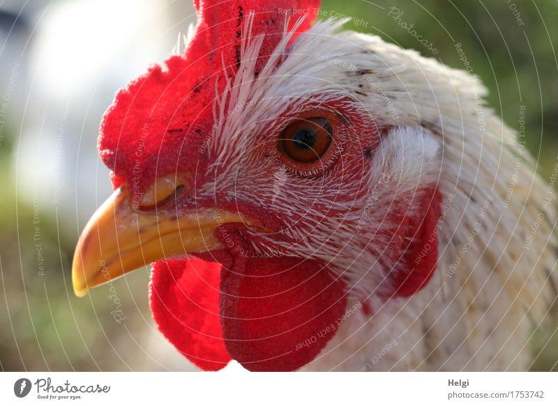 alles im Blick... Tier Nutztier Haushuhn 1 authentisch einzigartig natürlich gelb grau grün rot weiß Zufriedenheit achtsam Leben Kopf Kamm Schnabel Auge Feder