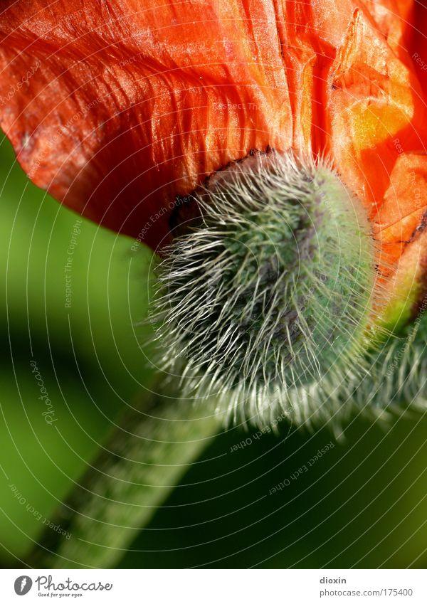 entfalten Natur schön grün Pflanze rot Sommer Farbe Leben Wiese Blüte Park Kraft Umwelt frei ästhetisch Wachstum