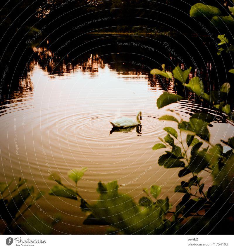 Schwanes Lied Umwelt Natur Landschaft Pflanze Tier Sommer Klima Schönes Wetter Baum Blatt Zweig Teich See 1 Schwimmen & Baden Gelassenheit ruhig Idylle