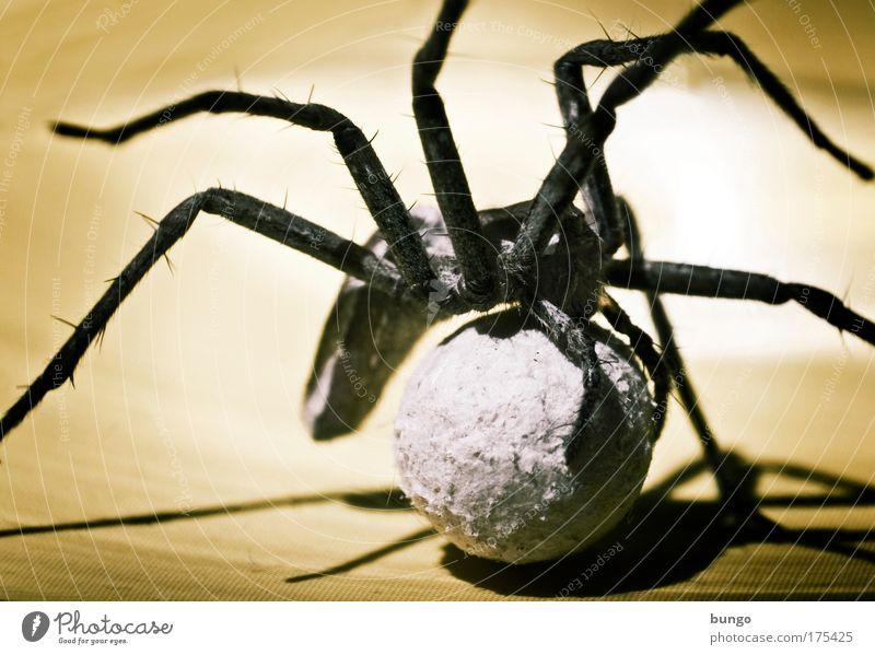 lycosidae Farbfoto Makroaufnahme Kunstlicht Schatten Kontrast Silhouette Tierporträt Spinne 1 Tierfamilie Natur Umweltschutz Wachstum Spinnenbeine Beine