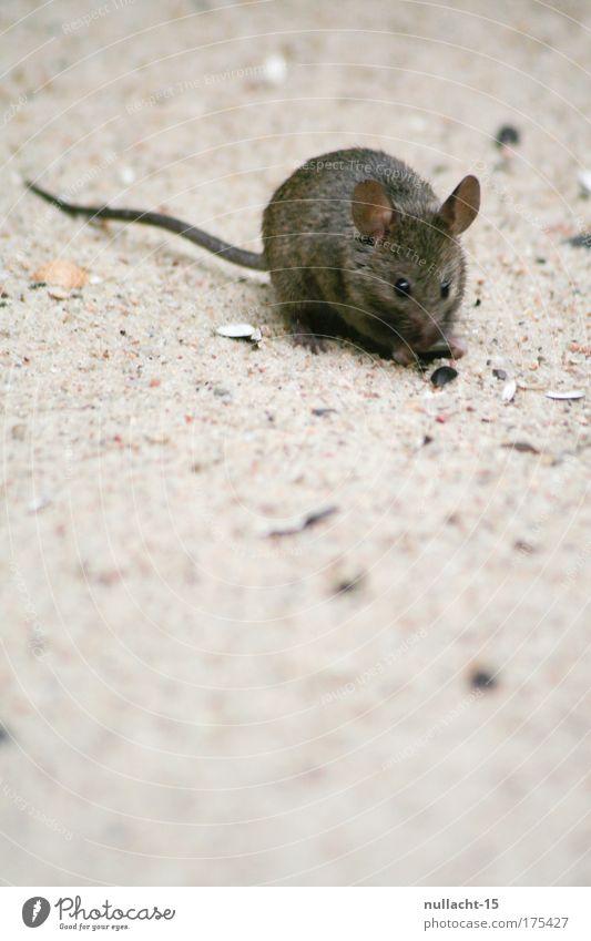 gesichtet im Zoologischen Garten, Berlin (2) Natur Tier Sand braun klein laufen nah natürlich Zoo entdecken Appetit & Hunger Wachsamkeit Maus Fressen Haustier krabbeln