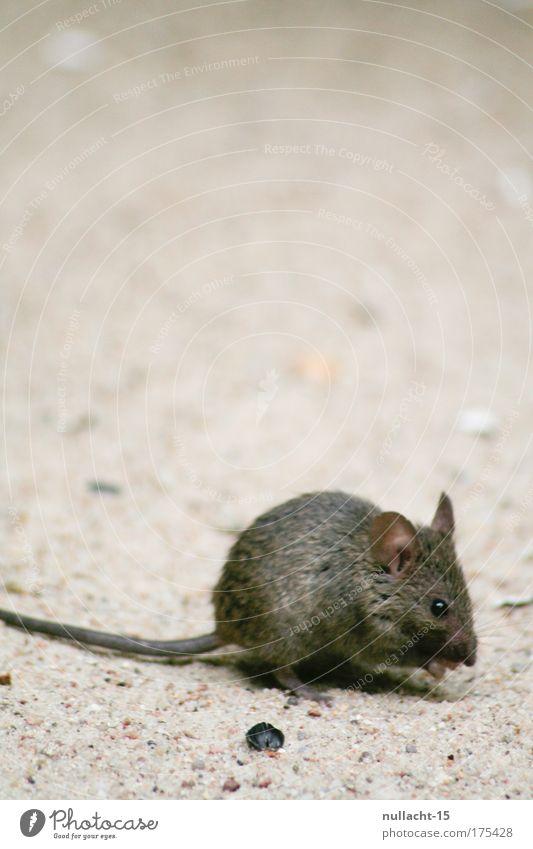 gesichtet im Zoologischen Garten, Berlin Natur Tier Sand braun klein laufen nah natürlich entdecken Appetit & Hunger Wachsamkeit Maus Fressen Haustier krabbeln