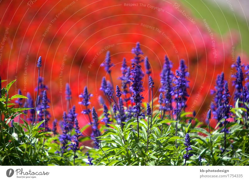 Field of a purple salvia garden in summertime Sommer Natur Landschaft Pflanze Wiesensalbei Blühend ornamental sage Salbei flower field flowers plants Farbfoto