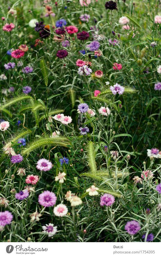 Wie die Nelken duftig atmen! Natur Pflanze Sommer Blume Blüte Garten Park Duft natürlich schön violett rosa Idylle Nelkengewächse Wiesenblume Ähren