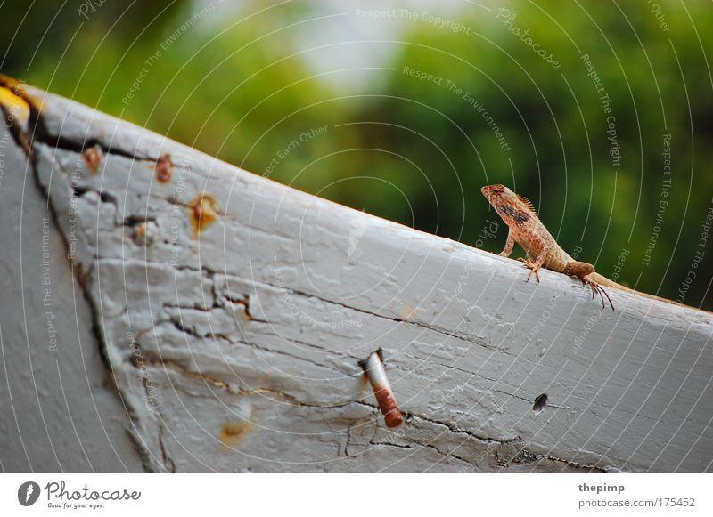 Echse weiß grün rot Tier beobachten exotisch Aggression Echsen