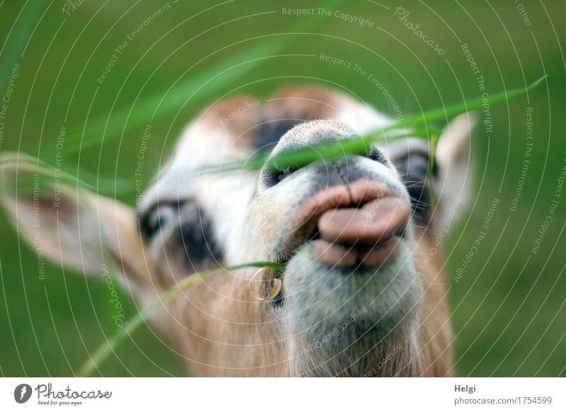 nu gib schon... Natur grün weiß Tier schwarz Umwelt Leben natürlich Gras Kopf braun authentisch einzigartig Neugier lecker nah