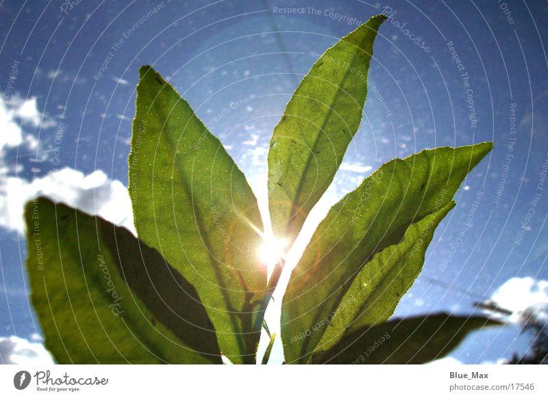 Leuchtende Blätter Sonne grün Pflanze Blatt Lampe