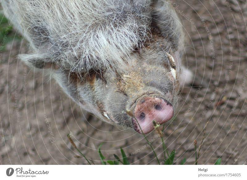 so ne Schweinerei... Natur Tier Umwelt Leben natürlich außergewöhnlich grau braun rosa Zufriedenheit Erde authentisch stehen einzigartig beobachten Neugier