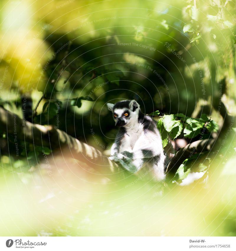 Lemure Umwelt Natur Tier Sonnenlicht Frühling Sommer Klima Schönes Wetter Pflanze Baum Park beobachten Gefühle sitzen Trägheit Langeweile Ast Erholung Auge groß