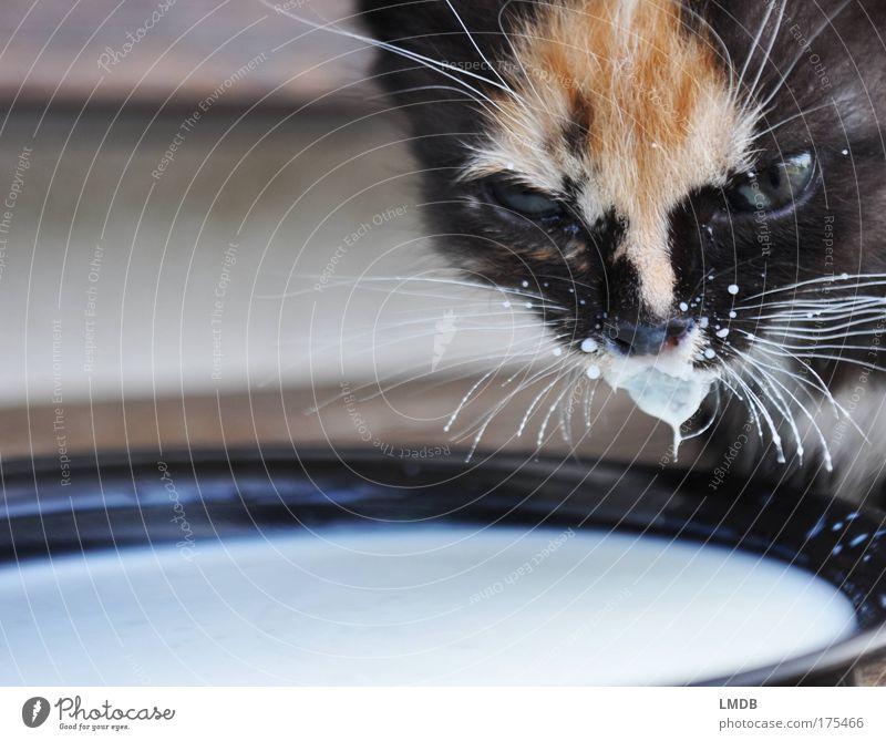 Pepper and Milk Katze weiß Tier schwarz Leben klein Tierjunges trinken Fell Vertrauen Tiergesicht Teller Haustier Geborgenheit kuschlig Schalen & Schüsseln