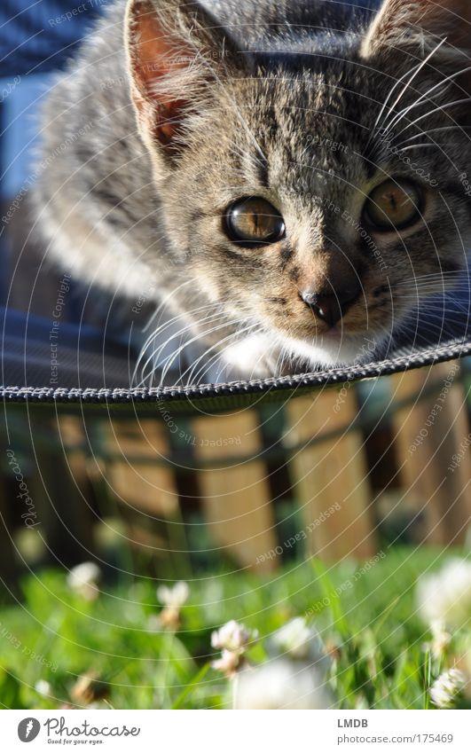 angriffslustig... grün Auge Tier Spielen Gras Garten grau Katze beobachten Fell Pfote Haustier Liegestuhl Hauskatze Klee Tierjunges
