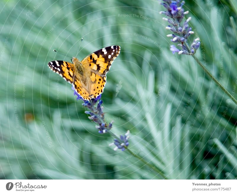Schmetterling Farbfoto mehrfarbig Außenaufnahme Nahaufnahme Detailaufnahme Makroaufnahme Tag Tierporträt Sommer Garten Umwelt Natur Pflanze Erde Frühling Blume