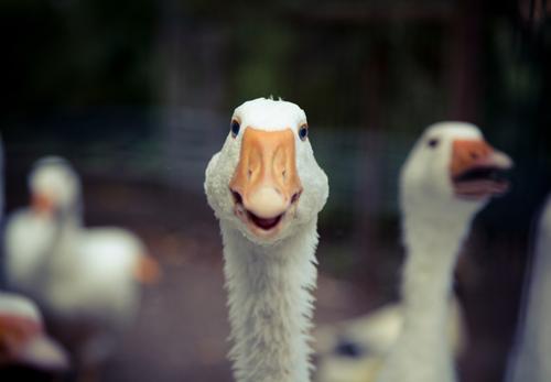 Gans Tier Metallfeder Haustier nachhaltig Fleisch Schnabel Feiertag füttern Nutztier Braten Geflügel Erpel Gänsebraten