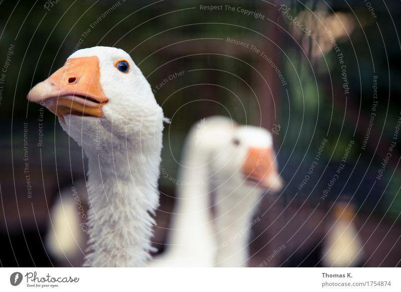Martini - Gans Tier Essen Feste & Feiern Metallfeder Bauernhof Bioprodukte Haustier nachhaltig Schnabel Ente Feiertag Grill Schwan Herd & Backofen Tierzucht