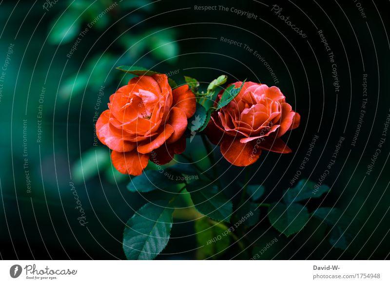 Farbe im dunklen Umwelt Natur Landschaft Frühling Sommer Klima Schönes Wetter Pflanze Blume Rose Blatt Blüte Wildpflanze Garten Park Wiese leuchten Duft frisch