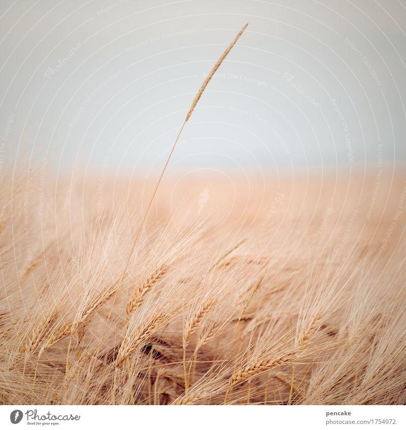 feldstudie Natur Landschaft Sommer Herbst Pflanze Feld Unendlichkeit Wärme weich Partnerschaft Design Leben Leichtigkeit Überleben Ferne einzeln Roggen Getreide
