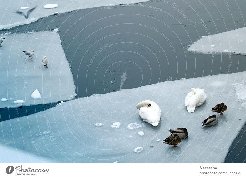 Icevögel Farbfoto Außenaufnahme Menschenleer Tag Umwelt Natur Tier Wasser Winter Eis Frost Fluss Wildtier Vogel Schwan Flügel Tiergruppe fliegen schlafen kalt
