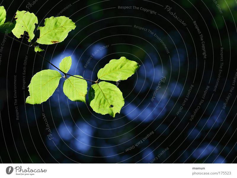 Im Finster-Wald Natur Baum grün blau Sommer Blatt schwarz Wald dunkel Herbst Frühling hell Umwelt Wachstum natürlich leuchten