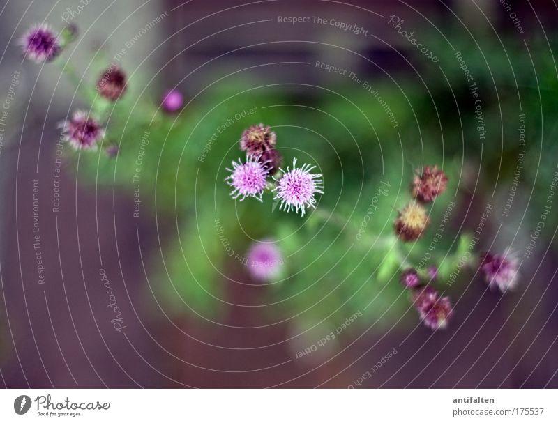 Schöne Distel Natur Pflanze Sommer Schönes Wetter Wärme Blume Blüte Gebäude Mauer Wand Fassade ästhetisch Duft Farbe Leben Perspektive Wachstum Farbfoto