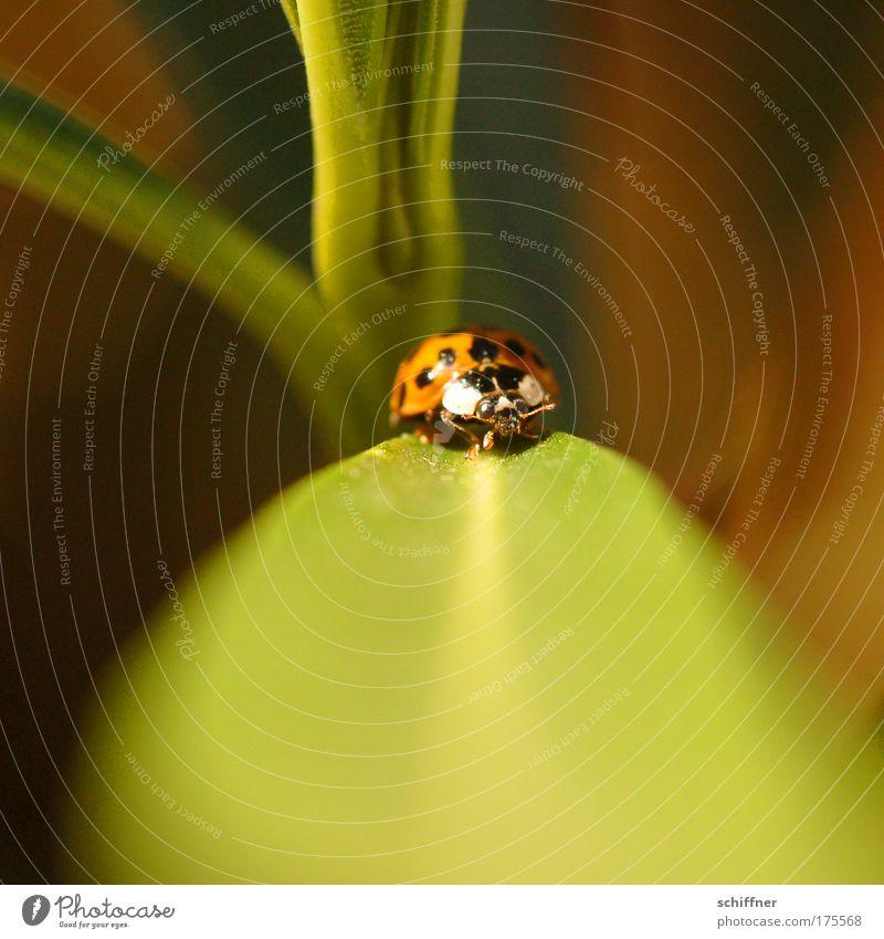 Laufsteg Makroaufnahme Tierporträt Umwelt Natur Pflanze Marienkäfer 1 krabbeln laufen klein winzig Fühler Punkt