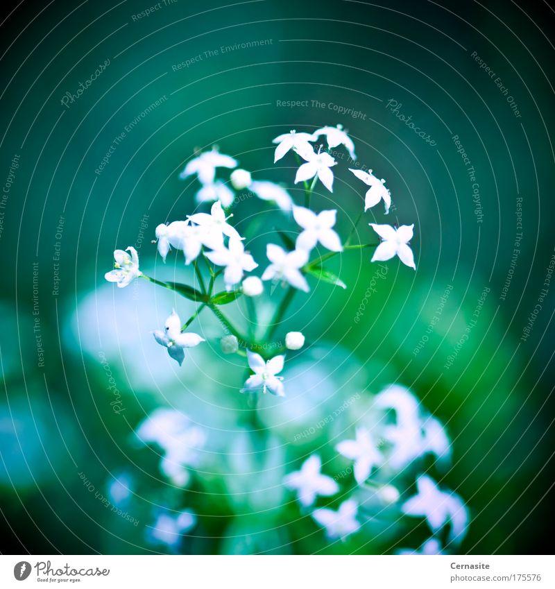 Natur blau weiß grün schön Sommer Blume dunkel Wiese Wärme klein Park Feld wild natürlich frisch
