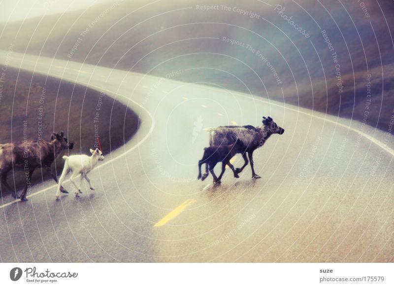 Ren(n)tiere Natur Tier Umwelt Straße Bewegung Freiheit wild laufen Wildtier frei authentisch Tiergruppe Asphalt Hirsche Kurve Flucht