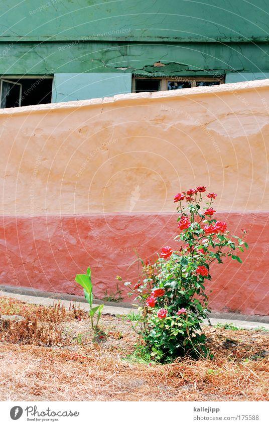 dornröschen Natur Pflanze Sommer Blume Blatt Haus Wiese Fenster Wand Umwelt Blüte Garten Mauer Häusliches Leben Rose Dorf