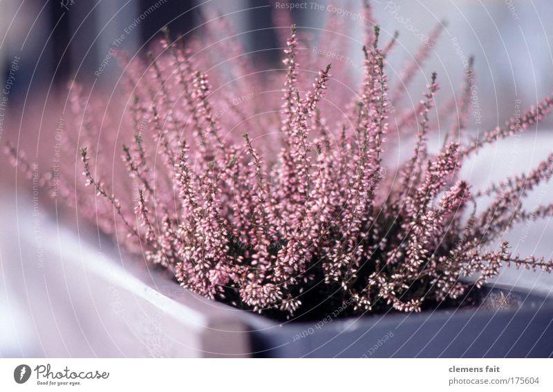 pink shot Pflanze Garten rosa Zufriedenheit ästhetisch authentisch Hoffnung violett Balkon Duft Terrasse Reinheit