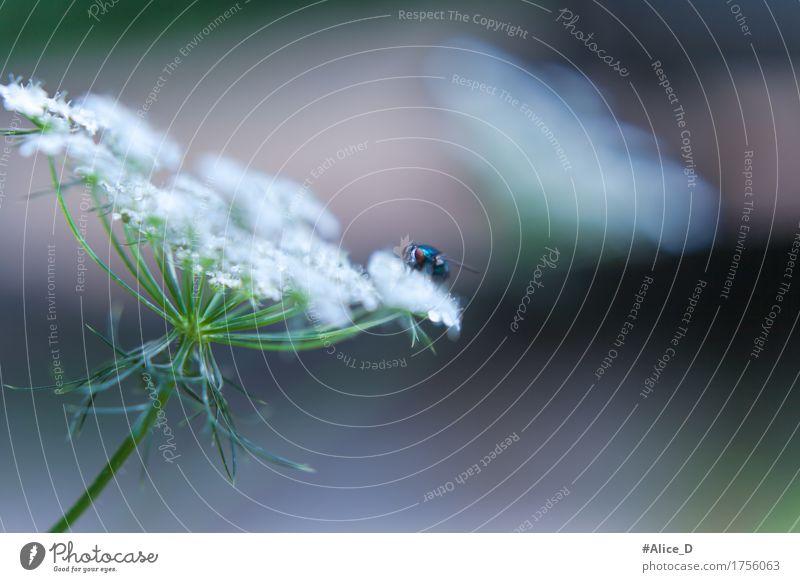 Blaue Fliege auf Weisse Blüte Natur Pflanze Tier Sommer Blume Wildpflanze Wildtier Tiergesicht Flügel blau grün weiß Insekt Farbfoto Außenaufnahme Nahaufnahme