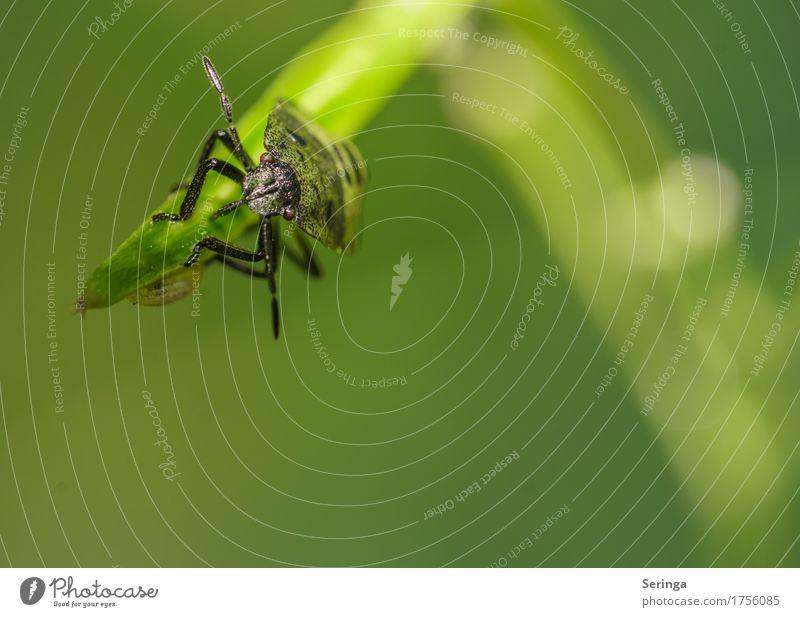 Wanzenachterbahn Umwelt Natur Landschaft Pflanze Tier Gras Blatt Garten Park Wiese Feld Wald Wildtier Käfer Tiergesicht Flügel Krallen 1 fliegen stinkend Nymphe