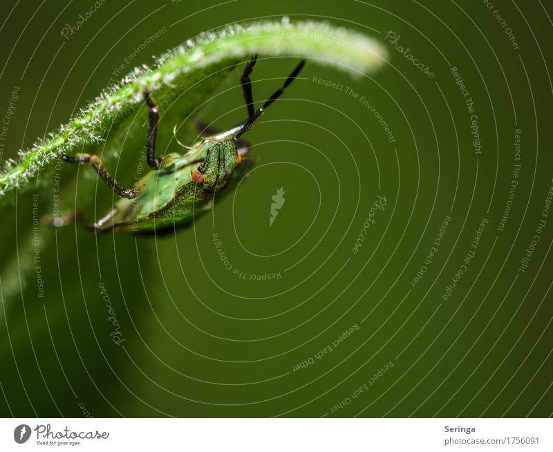 Grüne Wanze Tier Wildtier Käfer Tiergesicht Flügel 1 hängen grün Farbfoto Gedeckte Farben mehrfarbig Außenaufnahme Nahaufnahme Detailaufnahme Menschenleer