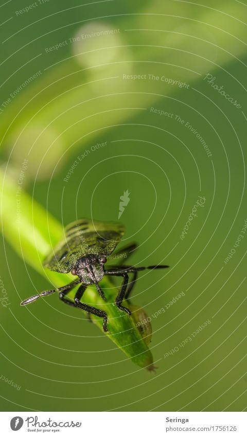 Gleichgewicht Pflanze Tier Gras Garten Park Wald Käfer Tiergesicht Flügel Krallen 1 Wanze Farbfoto mehrfarbig Menschenleer Textfreiraum rechts Textfreiraum oben