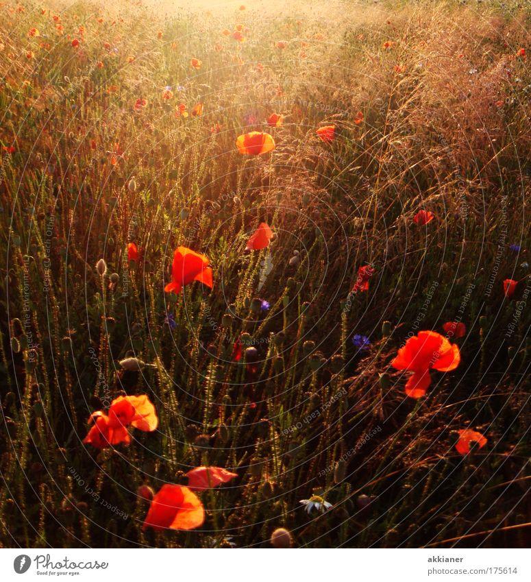 Sommerwiese Farbfoto mehrfarbig Außenaufnahme Tag Sonnenlicht Sonnenstrahlen Umwelt Natur Landschaft Pflanze Erde Wetter Schönes Wetter Blume Gras Blüte