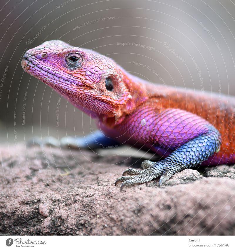 Heute ist Karneval Natur Ferien & Urlaub & Reisen blau Tier Gesicht Auge Wärme außergewöhnlich Felsen orange rosa Park elegant verrückt violett Tiergesicht