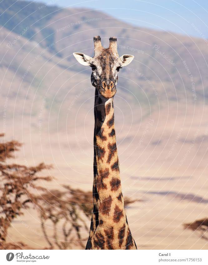 Hallo erstmal... Ferien & Urlaub & Reisen Tourismus Abenteuer Safari Natur Himmel Horizont Park Tier Wildtier Giraffe 1 Blick groß schön wild gelb Tierliebe
