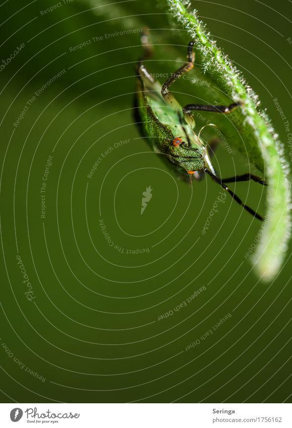 Kopfüber Umwelt Natur Landschaft Pflanze Tier Gras Blatt Park Wiese Feld Wildtier Käfer Tiergesicht Flügel Krallen 1 fliegen Blick Wanze Farbfoto mehrfarbig