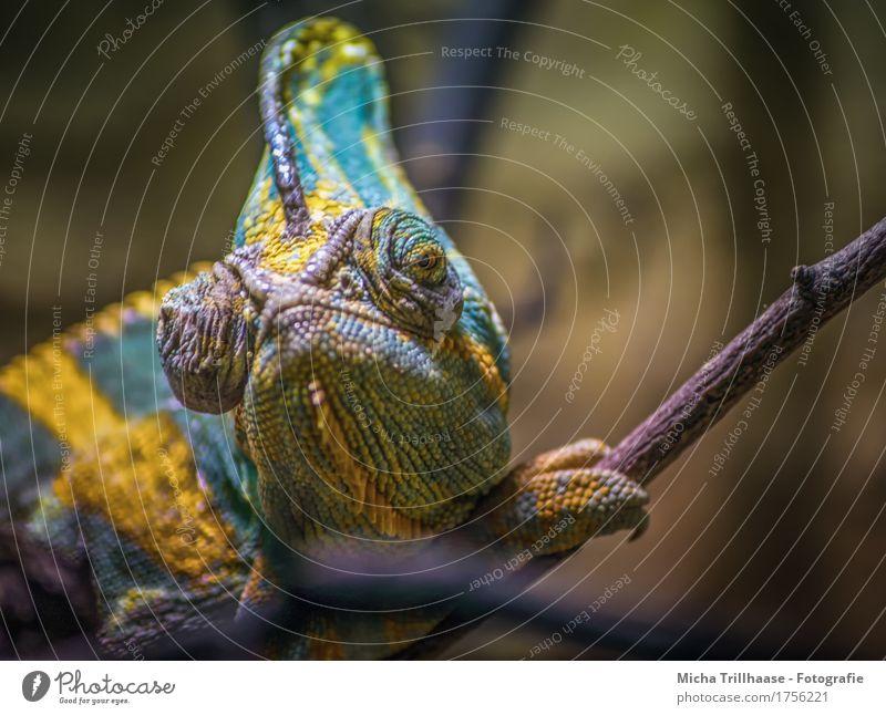 Chamäleon Natur Farbe Tier natürlich Wildtier sitzen beobachten Warmherzigkeit Wandel & Veränderung nah Sonnenbad Wachsamkeit exotisch Müdigkeit Tiergesicht