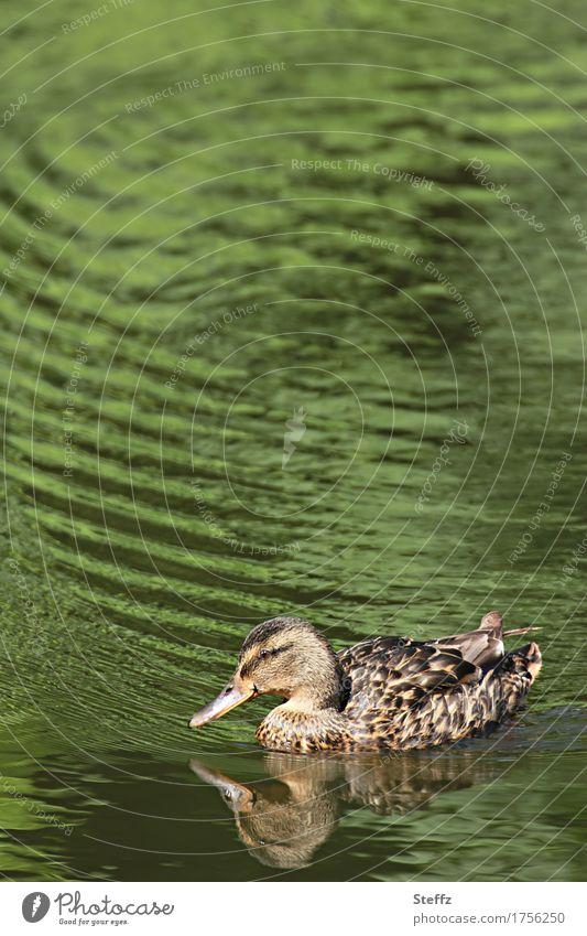 eine Ente im grünen Teich Ententeich Entenschnabel Teichufer grünes Wasser Frieden Idylle beruhigend beruhigendes Wasser friedliche Stimmung Ruhe in der Natur