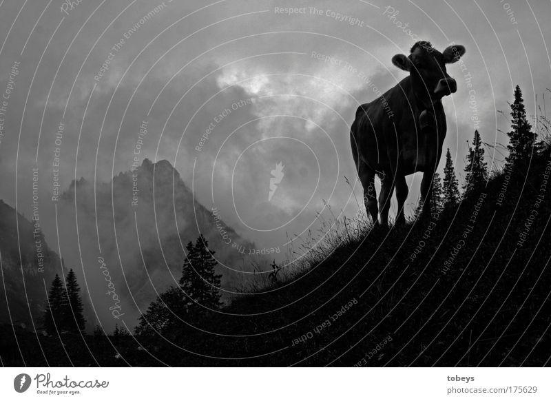 Die Ammergauer Alpen Natur Ferien & Urlaub & Reisen Wolken Berge u. Gebirge Felsen Feld Nebel wandern Gipfel Hügel Klettern Kuh Bayern Bergsteigen Aggression