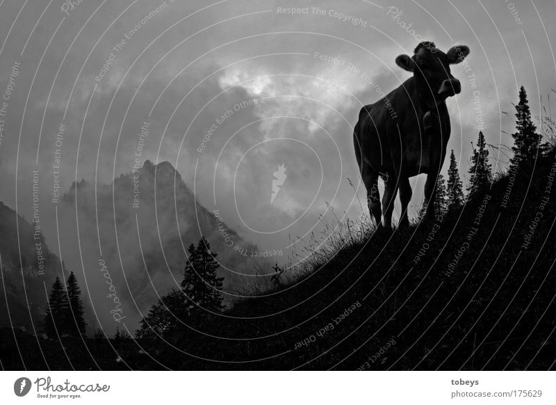 Die Ammergauer Alpen Natur Wolken Nebel Feld Hügel Felsen Berge u. Gebirge Gipfel Kuh Bulle Aggression Glocke Allgäu Allgäuer Alpen jodeln Bergsteigen Klettern