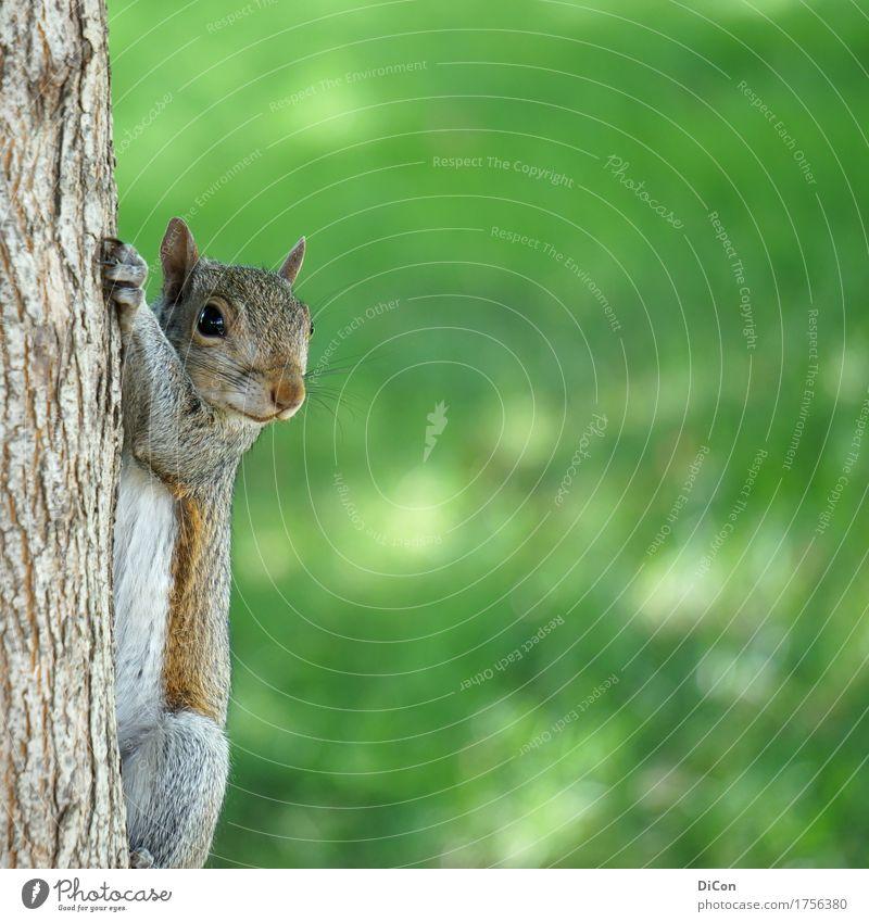 Neugieriger Nager Natur Baum Park Tier Wildtier Eichhörnchen 1 beobachten hängen frech kuschlig niedlich grün Wachsamkeit Interesse Farbfoto Außenaufnahme