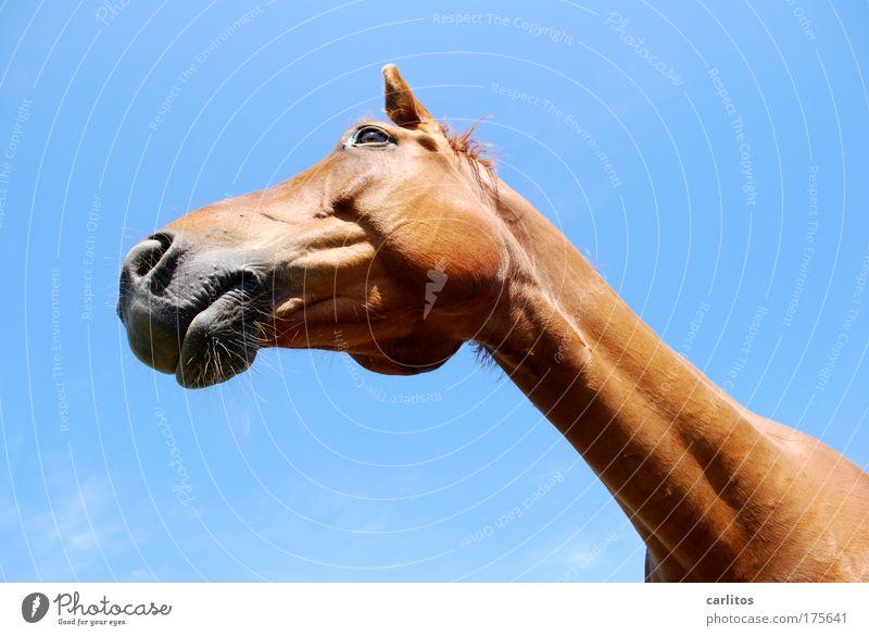 Jean Paul Gaul-Tier Weitwinkel Blick in die Kamera Froschperspektive harmonisch Reiten Freiheit Reitsport Pferd Fell beobachten ästhetisch elegant