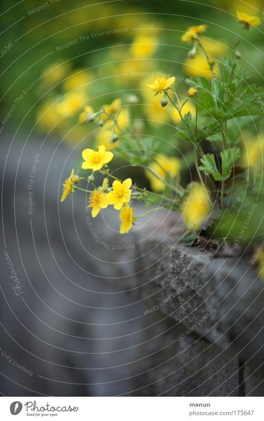 Randerscheinung Natur Pflanze Sommer Blume Haus Farbe gelb Wand grau Garten Stil Mauer Frühling Design frisch natürlich