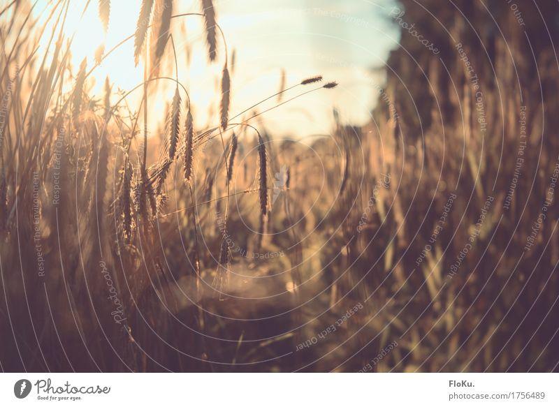 goldener Herbst Getreide Gartenarbeit Landwirtschaft Forstwirtschaft Umwelt Natur Pflanze Sonne Sonnenaufgang Sonnenuntergang Sonnenlicht Schönes Wetter Gras