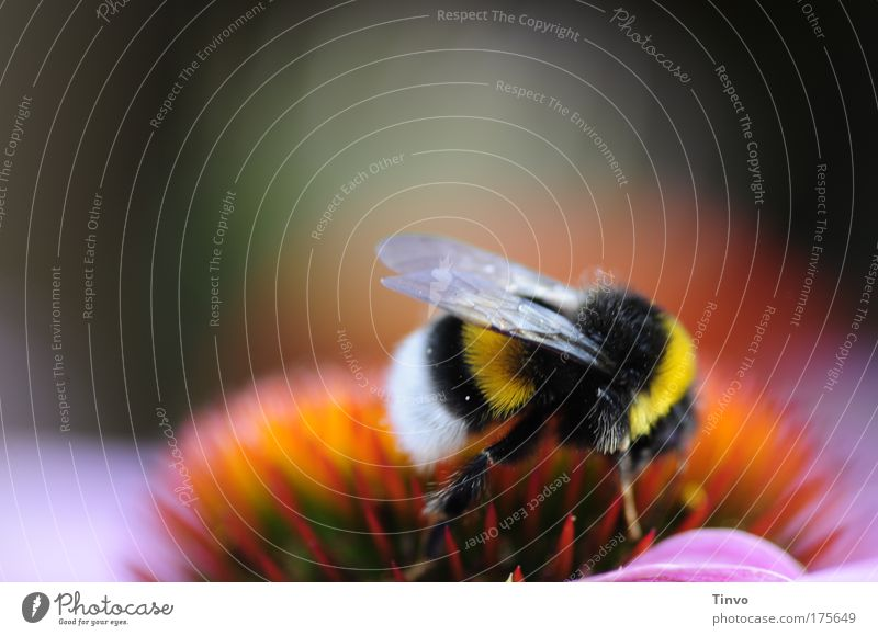 bumble-bee schön Blume Sommer schwarz Tier gelb Blüte Behaarung Flügel Insekt natürlich Pollen gestreift Hummel fleißig saugen