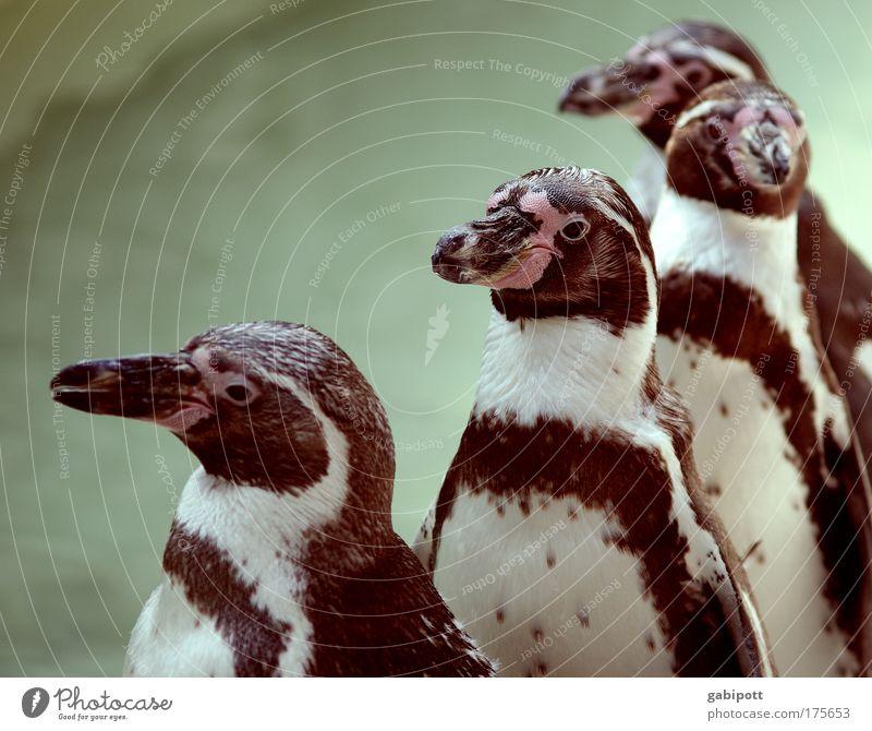 Warteschlange an der Freibadkasse Tier warten laufen nass Schwimmbad Tiergruppe stehen Zoo niedlich Reihe Sonnenbad Schnabel Warteschlange Pinguin mehrere Reihenfolge