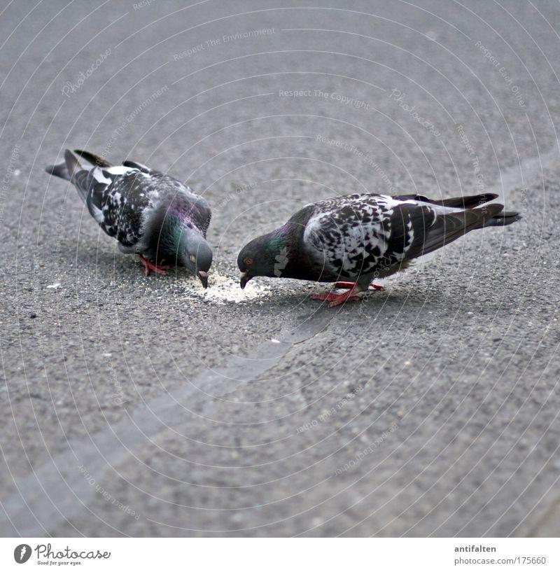 Dinner for two Tier ruhig Straße Freundschaft Vogel Wildtier Tierpaar Ernährung Flügel Vertrauen Zusammenhalt Straßenbelag Fressen Taube Schnabel füttern