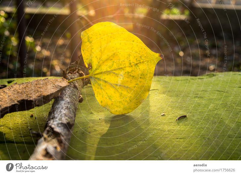 leuchtendes Herbstblatt auf einer bemoosten Bank im Sonnenlicht Natur Pflanze Blatt gelb grün Lichtschein Ast Stimmung einzeln leuchtende Farben Farbfoto